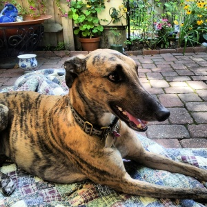 greyhound, rescued,