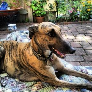 greyhound, rescued,